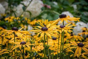 Veld met gele bloemen van