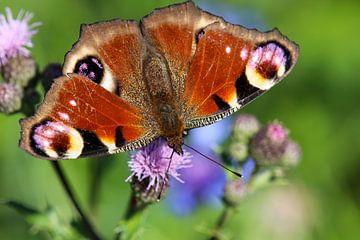 Schmetterling Tagpfauenauge auf einer Distelblüte von Reiner Conrad