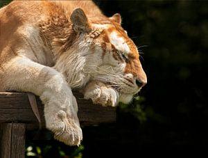 Bengaalse tijger heerlijk aan het slapen van