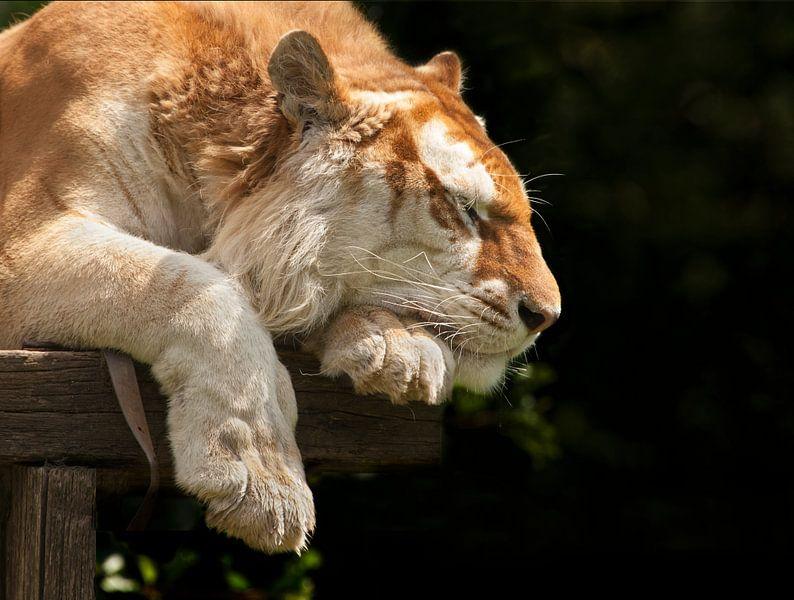 Bengaalse tijger heerlijk aan het slapen