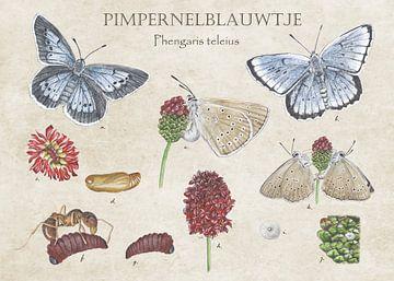 Pimpernell-Blau von Jasper de Ruiter