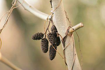 branche avec des bourgeons d'aulne sur Tania Perneel