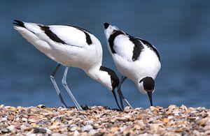 Paartje Kluten (Recurvirostra avosetta) van Beschermingswerk voor aan uw muur