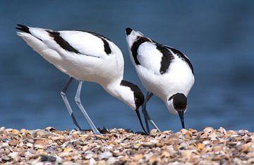 Paartje Kluten (Recurvirostra avosetta) van