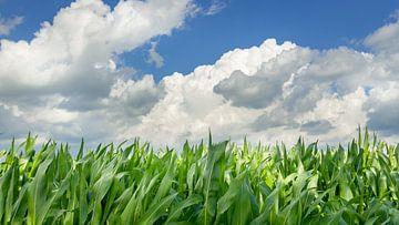 Mais onder een Hollandse lucht van Michel Seelen