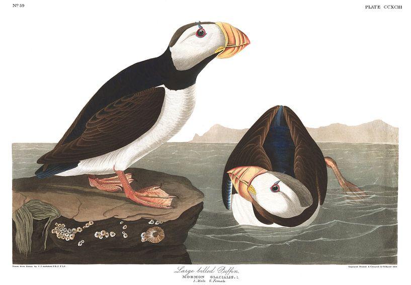 Gehoornde Papegaaiduiker van Birds of America