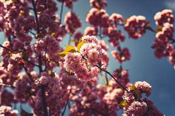 Bloesems roze 09 van FotoDennis.com