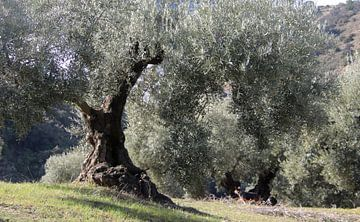 Olijfbomen in Andalusisch landschap van jan katuin