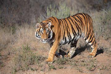 Junger Tiger zu Fuß von Jos van Bommel