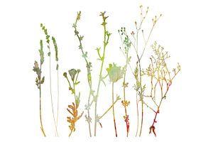 Sommerwiese Pflanzen, Kräuter und Blumen. Botanische Illustration  von