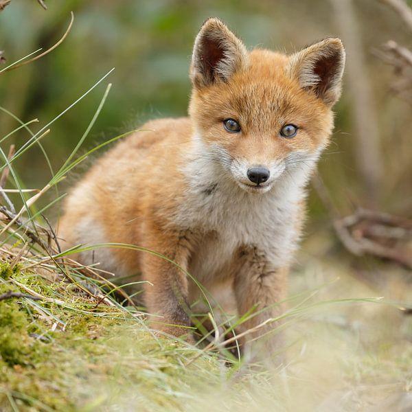 Portret van jonge vos van Menno Schaefer
