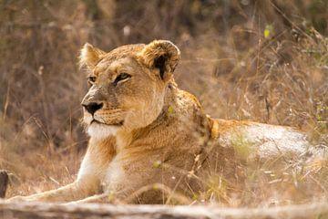 Lioness sur Jan van Kemenade