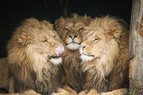 Drie leeuwen close-up