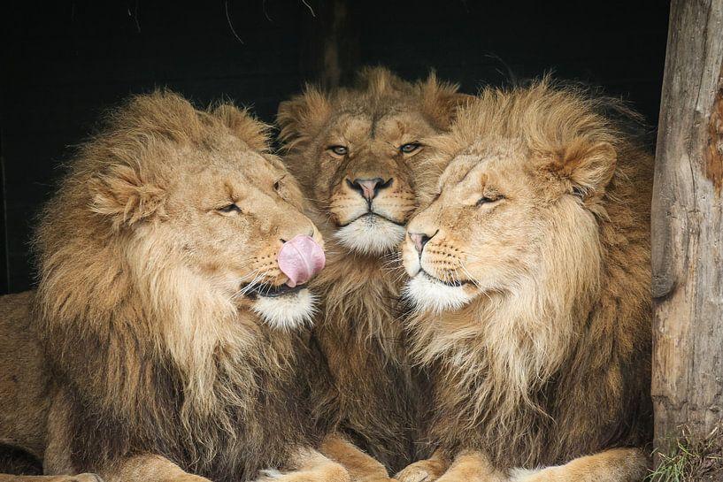 Drei Löwen in Nahaufnahme von Erik Wouters