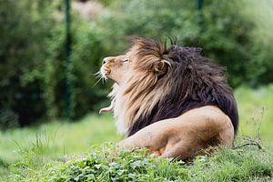 Löwen im Safaripark Beeksebergen von Anne Zwagers