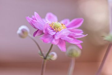 roze aster van Tania Perneel