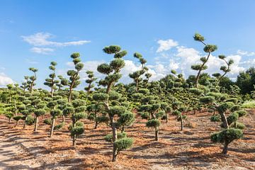 Vormsnoei bij coniferen in boomkwekerij van Ben Schonewille