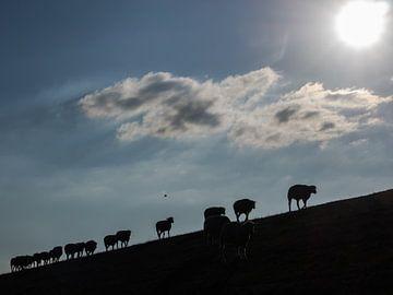 Schafe im Gegenlicht von Katrin May