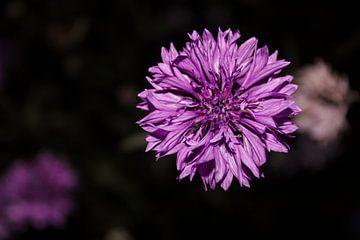 Paarse bloem, wildbloem van Gwyn de Graaf