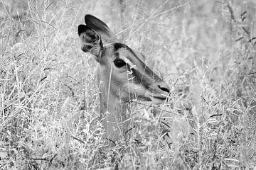 Impala in rust - portret  van