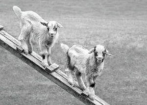 Jonge geitjes in de weide (in zwart-wit) van