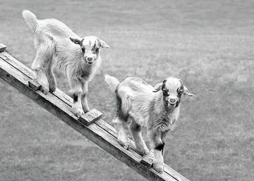 Zwei jungen Ziegen in der Wiese (in Schwarzweiß) von Christa Thieme-Krus