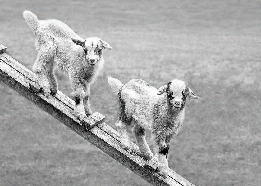 Jonge geitjes in de weide (in zwart-wit)