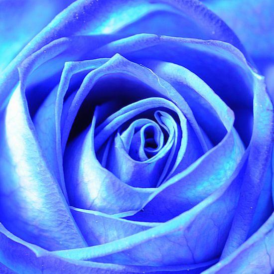 Blauwe roos (vierkant)