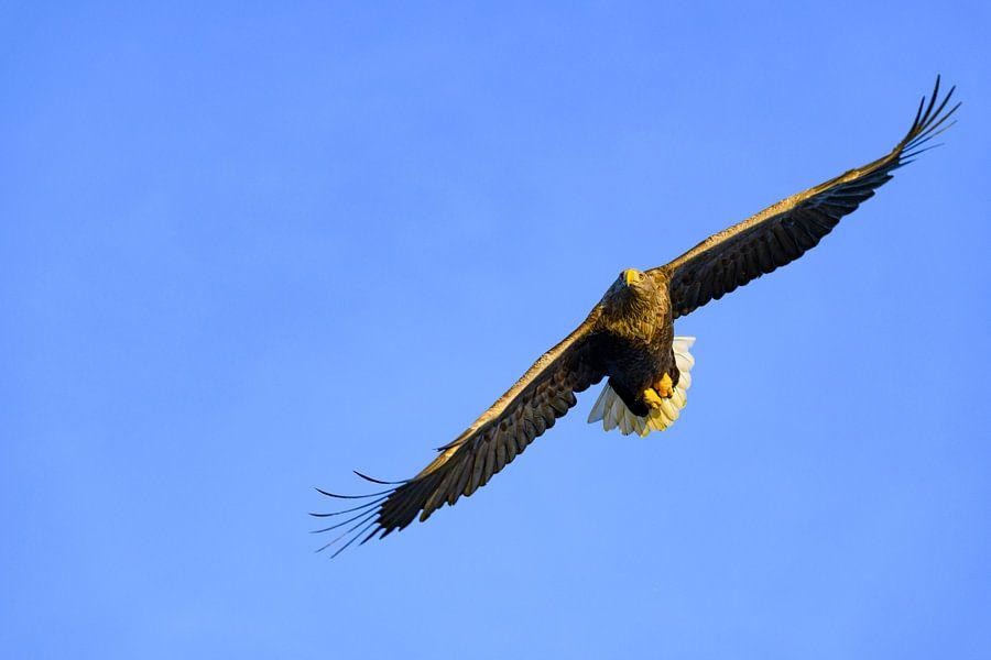 Zeearend vliegend in de lucht boven een Fjord
