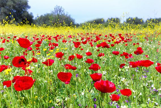 Veld met rode klaprozen en gele koolzaad planten