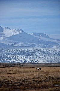 Een rendier voor een gletsjer in oost-IJsland van