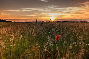 Klaprozen - Poppies