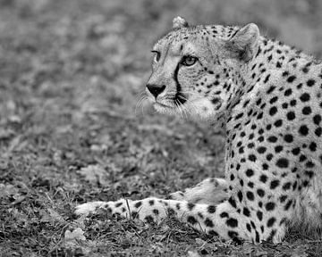 Dieser Cheetah behält alles genau im Auge. von Patrick van Bakkum