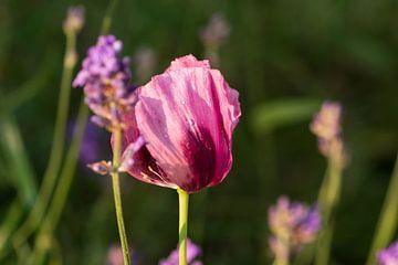 Mooie roze klaproos en lavendel van Mirjam Welleweerd