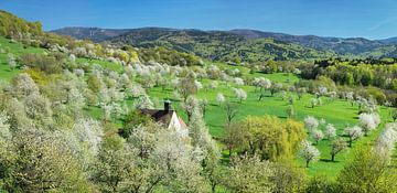 Kirschblüte im Markgräfler Land, Schwarzwald von Markus Lange