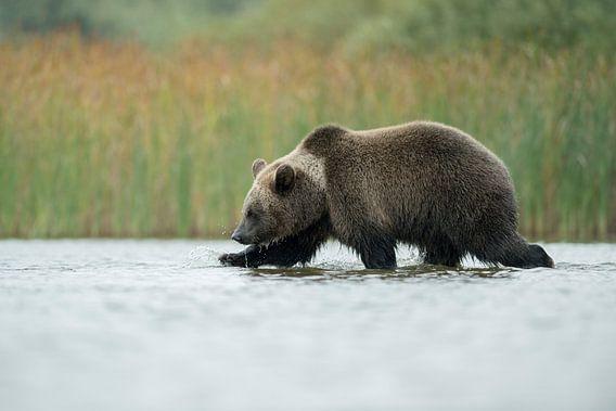 European Brown Bear ( Ursus arctos ) walking through shallow water