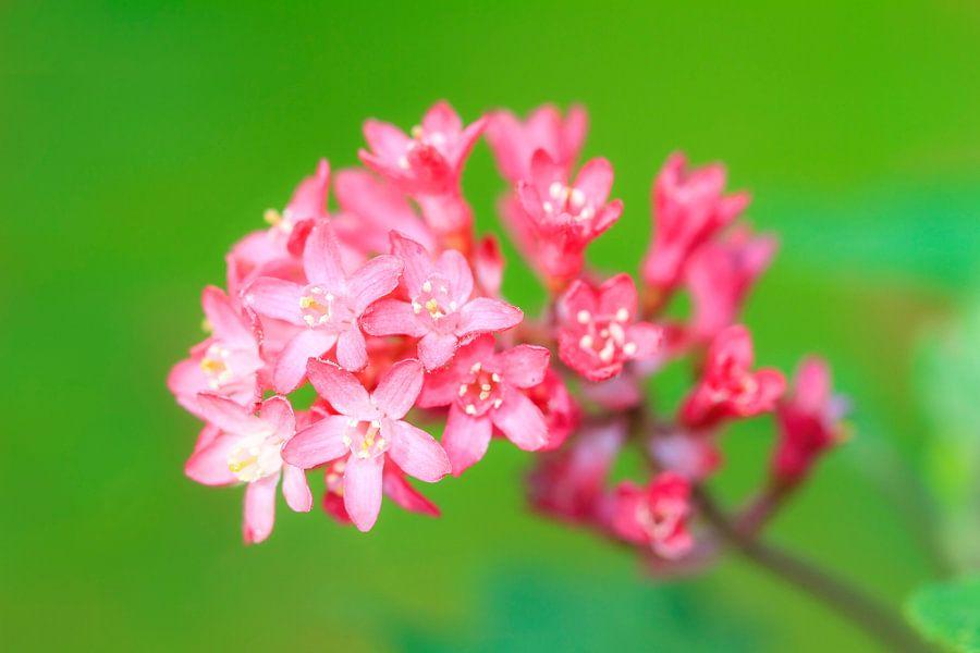 Roze bloemetjes van Dennis van de Water