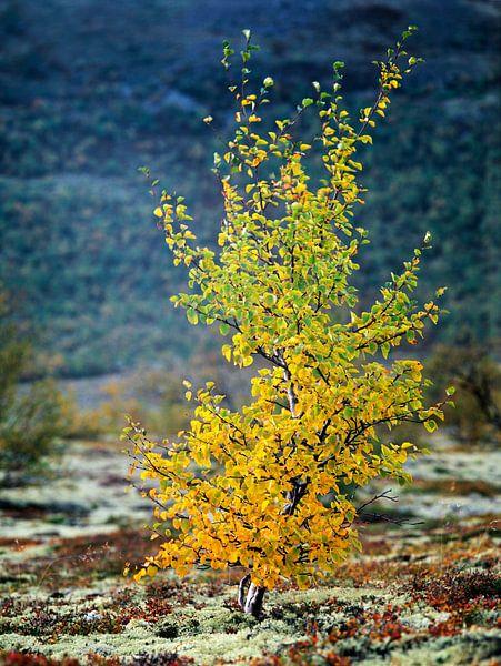 Een kleine beuk in herfstkleuren in landschap, Dovrefjell, Oppland, Noorwegen van Nature in Stock