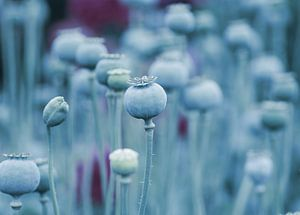 Sommer Mohnblumen Kapseln in Blau