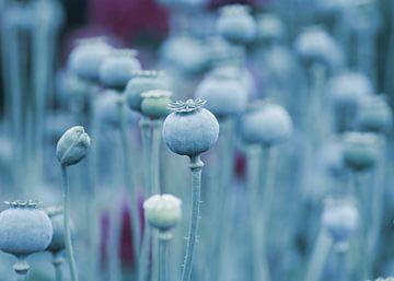 Sommer Mohnblumen Kapseln in Blau von Tanja Riedel