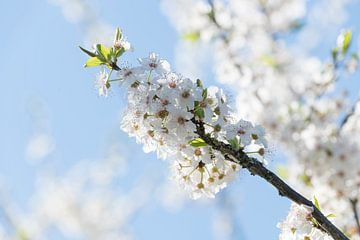 Witte Bloesem von Thomas Duiker
