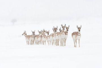 Gabelböcke / Gabelantilopen ( Antilocapra americana ), kleine Herde im Schnee, im Winter, steht aufg von wunderbare Erde