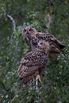 2 Owls... Eurasian Eagle Owl * Bubo bubo * van wunderbare Erde