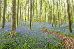 Glockenblume blüht in einem Buchenbaumwald während eines Frühjahrmorgens