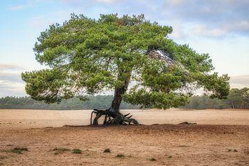 Solitärer Baum auf den Soester-Dünen von Dannis van der Heiden