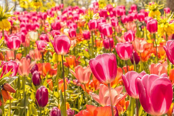 Kleurrijk veld tulpen