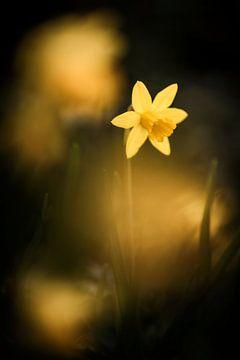 Daffodils in sunlight van Bob Daalder