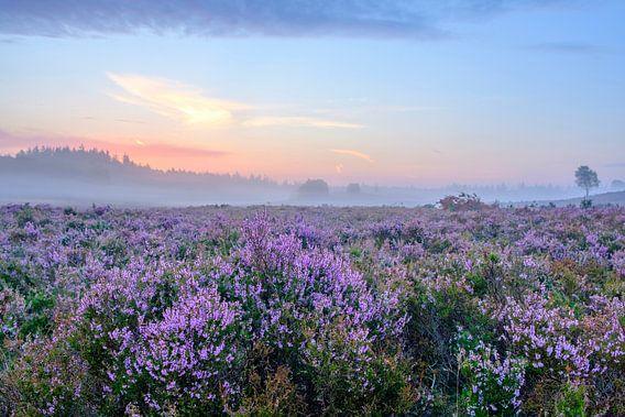 Bloeiende Heideplanten in Heidelandschap tijdens zonsopgang in de zomer op de Veluwe