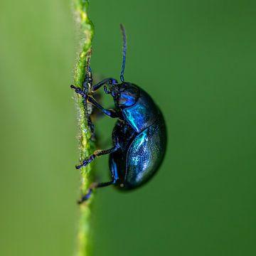 Macro de scarabée bleu en vert sur Sia Windig