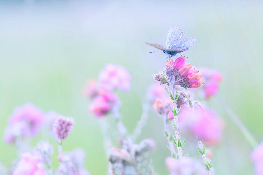 Heideblauwtje op Dopheide van Desiree Adam-Vaassen